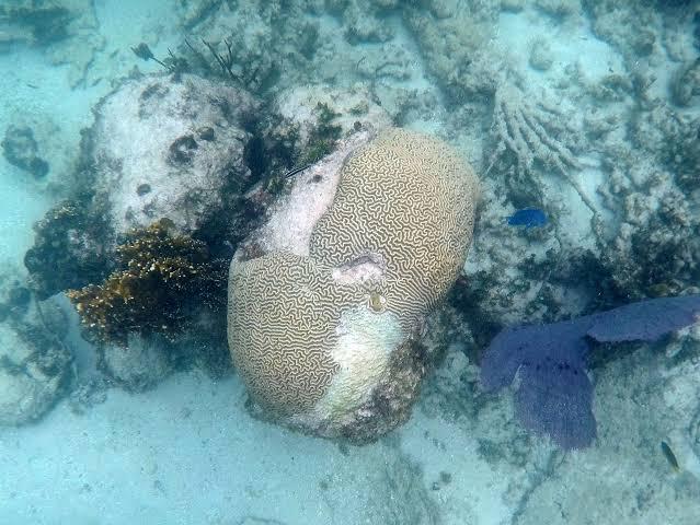 Quintana Roo, rumbo a una catástrofe por la pérdida de corales; el año pasado el registro fue superior al de los últimos 40 años.