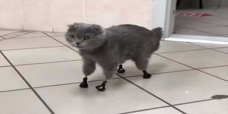 Gato vuelve a caminar gracias a prótesis