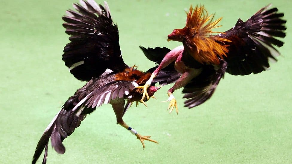 """Gallo hace realidad corrido de """"La muerte de un gallero"""""""