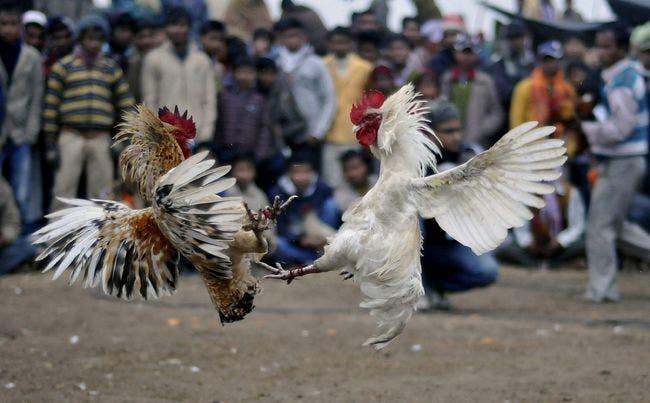 A pesar de estar prohibidas por la ley, las peleas de gallos siguen siendo muy comunes en India