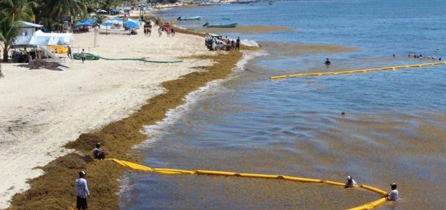 Preocupa a ambientalistas atención al sargazo en Playa del Carmen.