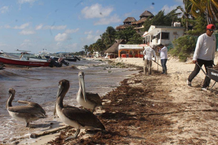 Se rompe tregua con el sargazo; reaparece en Playa del Carmen.
