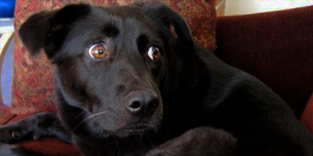 Estudio revela que los perros no ladran igual en inglés que en español