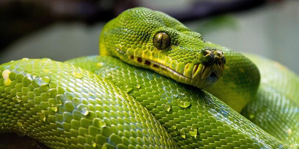 ¿Cómo surgió el coronavirus?: origen chino vendría de las serpientes