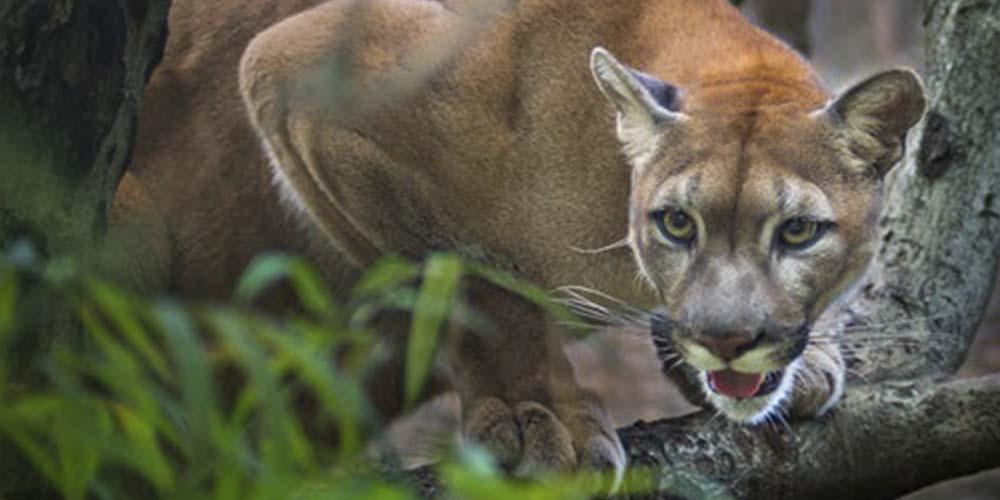 Autoridades sacrifican a tres pumas por comer restos humanos