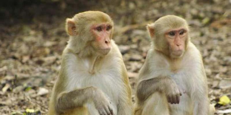 Infectan a 18 monos para buscar vacuna contra el coronavirus