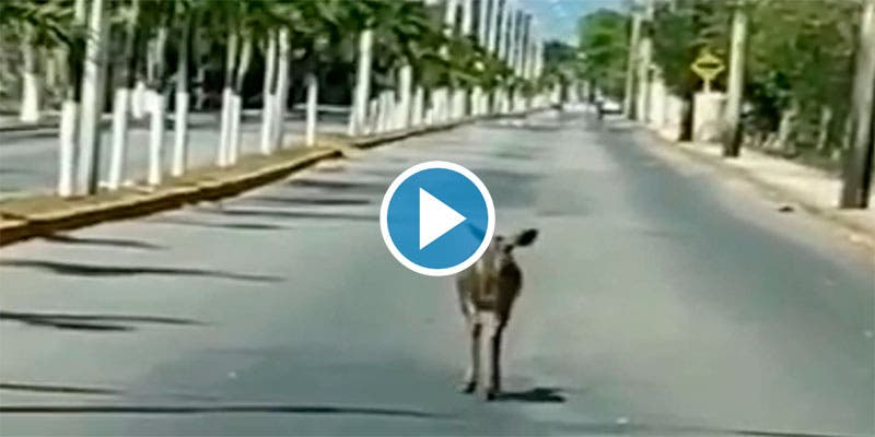 Animales silvestres comienzan a avistarse en zonas urbanas de Cozumel.