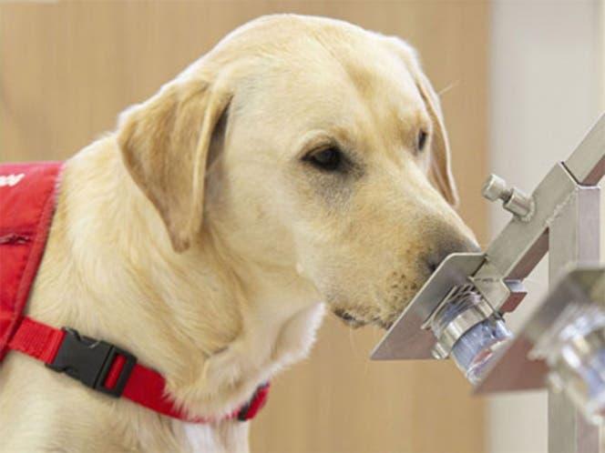 Investigan si perros pueden olfatear a portadores asintomáticos del Covid-19.