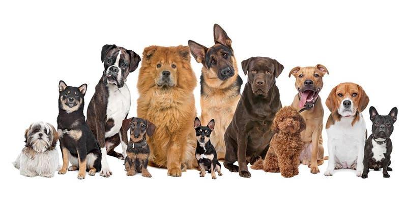 Razas de perros que te acompañarán muy pocos años