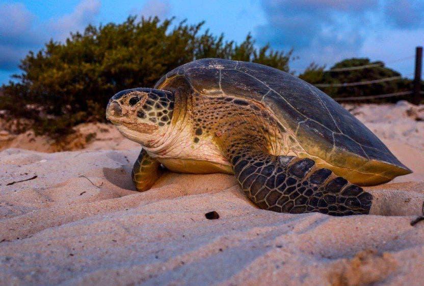 Inicia desove de tortugas marinas en Puerto Morelos