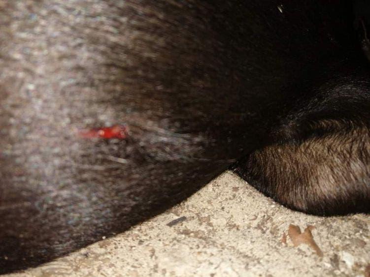 Disparan y machetean a dos perros en Las Fincas de Cozumel.