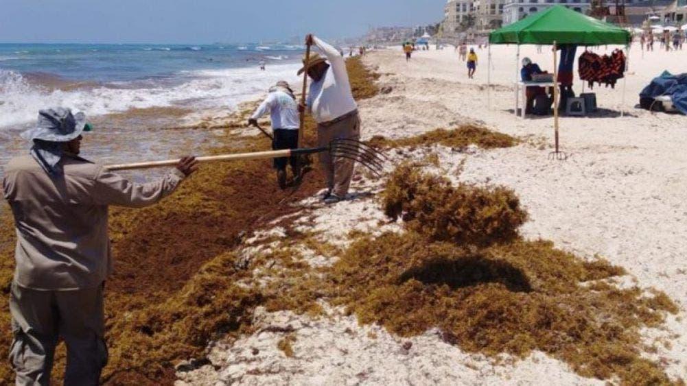 Aumentará el arribo de sargazo en el Sur de Quintana Roo.