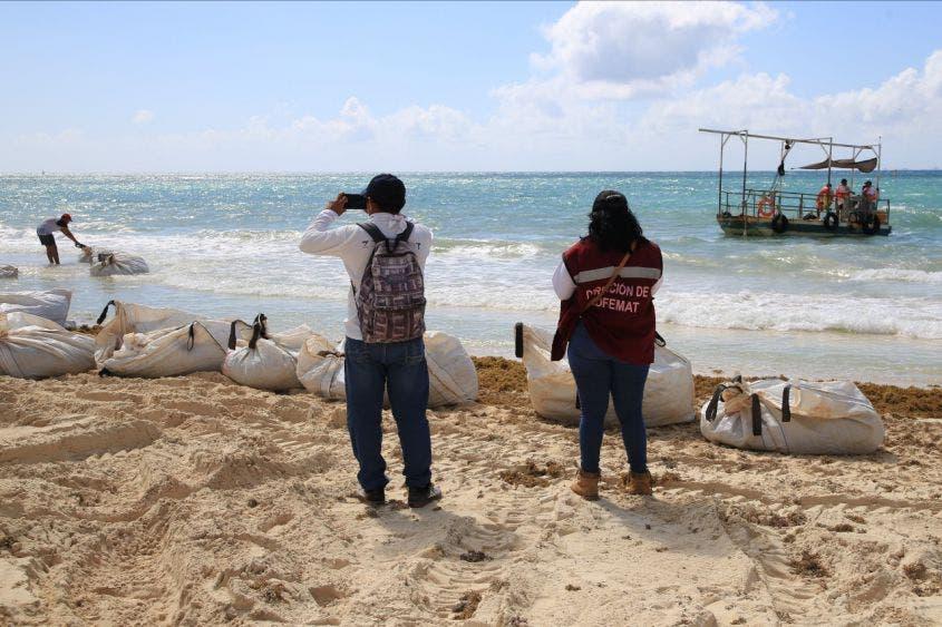 Atención frontal al recale de sargazo en Playa del Carmen; pone autoridades manos a la obra con cuatro embarcaciones sargaceras.