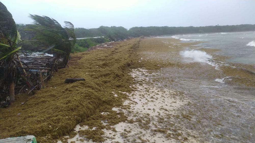 Nuevo recale de sargazo en playas de Cozumel.