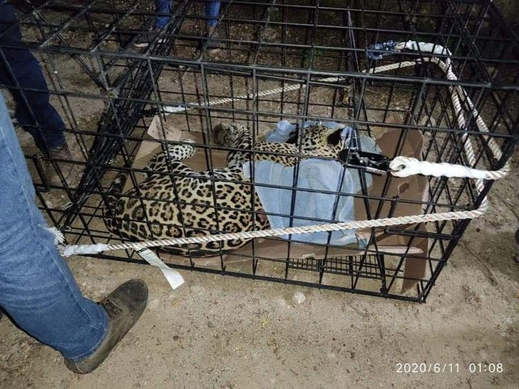 Rescatan a jaguar herido y lo trasladan al zoológico de Chetumal.