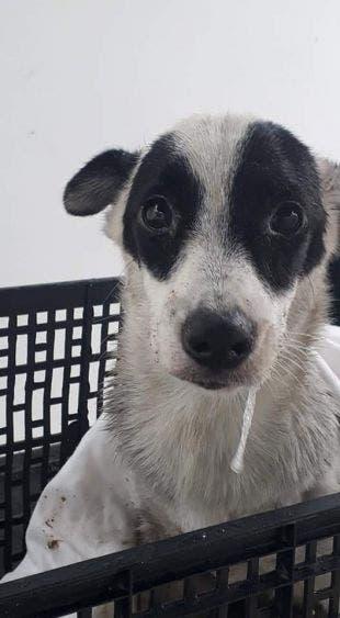 Incrementan casos de moquillo en mascotas en Cozumel; es importante que la población los lleve a vacunar al Centro de Control Animal.
