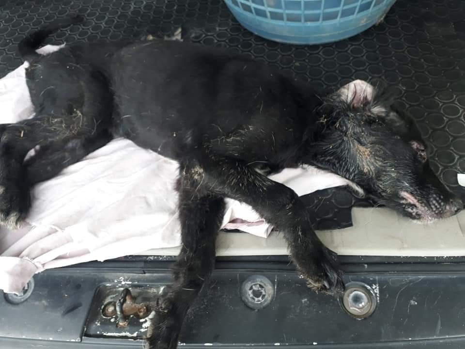 Incrementan casos de moquillo en mascotas en Cozumel.