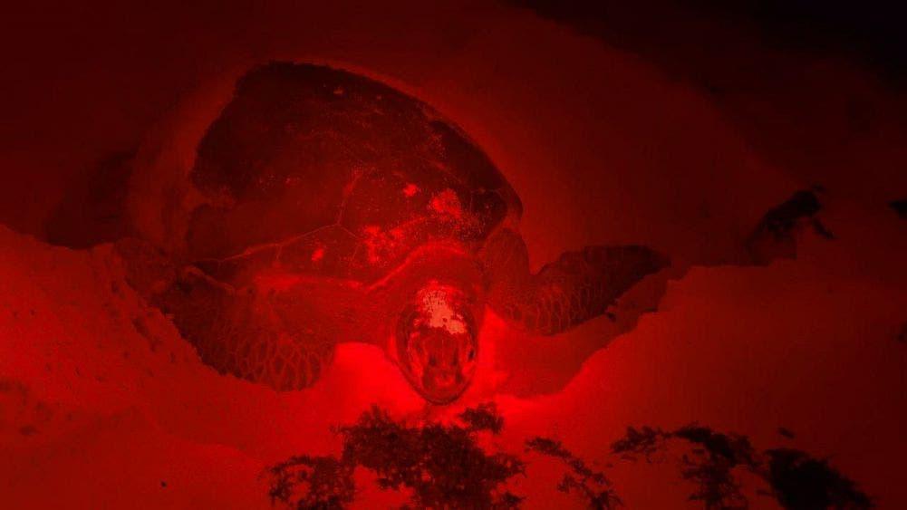 Continúa la protección a las tortugas marinas en Cozumel.