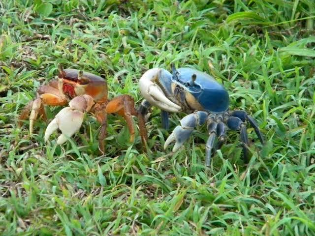 En Cozumel se reduce drásticamente la población de cangrejo azul.