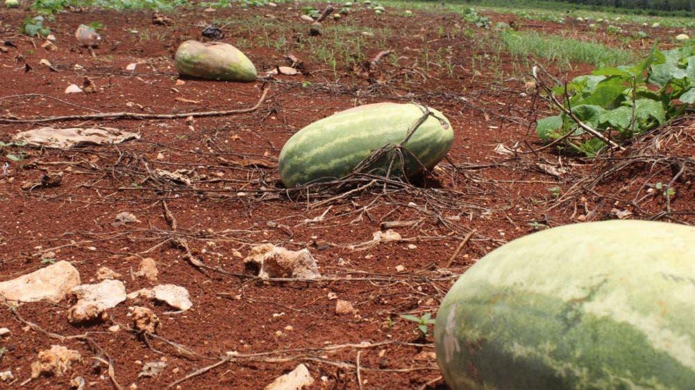 Daños por lluvias recientes encarecerían papaya y maíz elotero