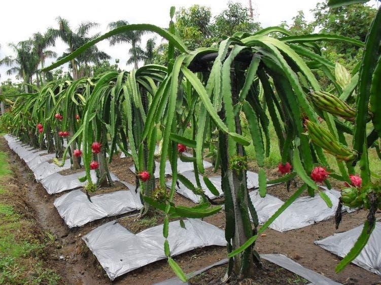 Plaga de gusanos amenaza cultivos de pitahaya en la Zona Maya.