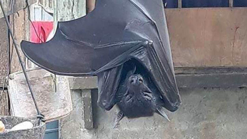 "Murciélago ""Tamaño Humano"" aterroriza las redes"
