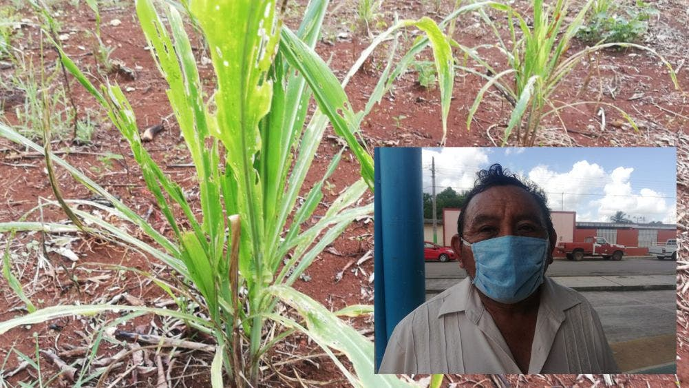 "Gusano ""cogollero"" devasta plantíos de maíz"