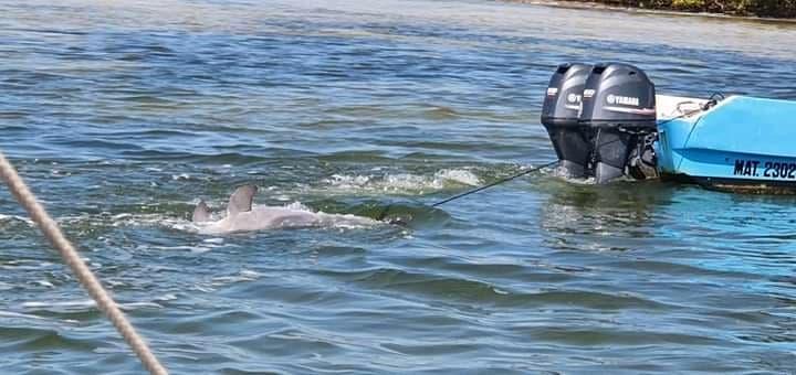 Encuentran un delfín muerto en la Laguna Yalahau; el mamífero fue hallado por pescadores en el trayecto del puerto de Chiquilá a Holbox.