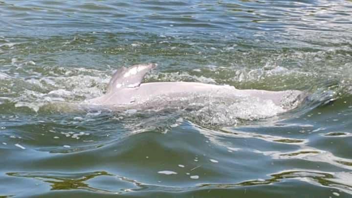 Encuentran un delfín muerto en la Laguna Yalahau.