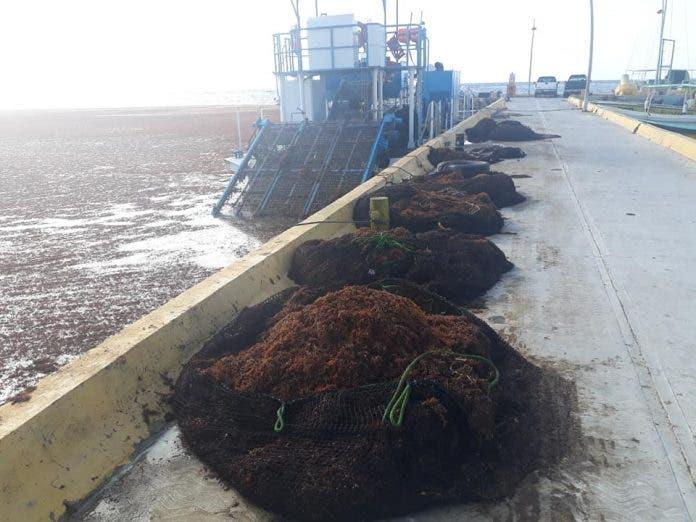 Resulta insuficiente la contención de sargazo en Mahahual; se recoleta un promedio de 25 toneladas diarias del alga marina.