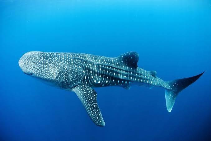 Van en aumento las ganancias por tours con tiburón ballena.