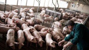 El virus G4 de gripe porcina no tiene riesgo de potencial pandemia
