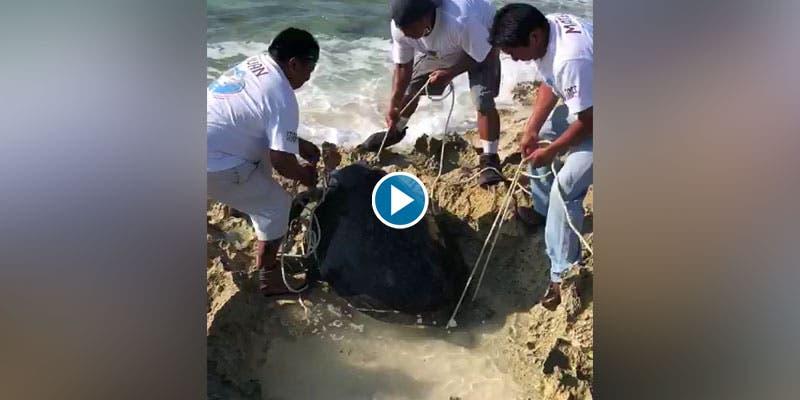 Video: Rescatan tortuga tras desovar en Cozumel.