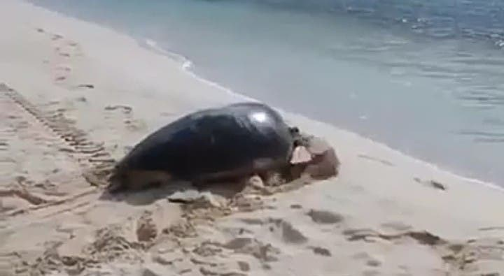 En Playa del Carmen rescatan a tortuga que desovó en zona de manglar.