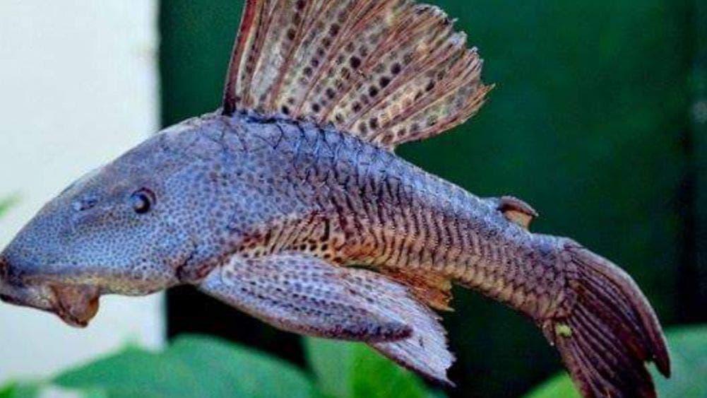 Llegó el diablo a el Rio Hondo...en forma de pez