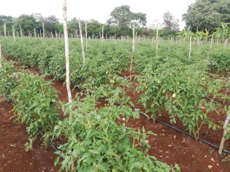 Proyecto de tomate mejorará las condiciones de vida de una familia