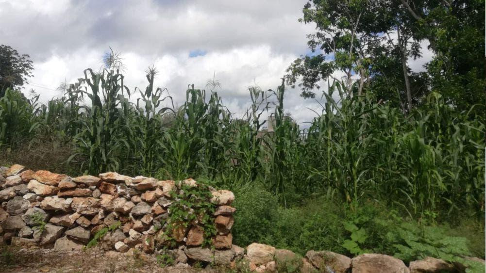 Benefician lluvias a campesinos productores de maíz