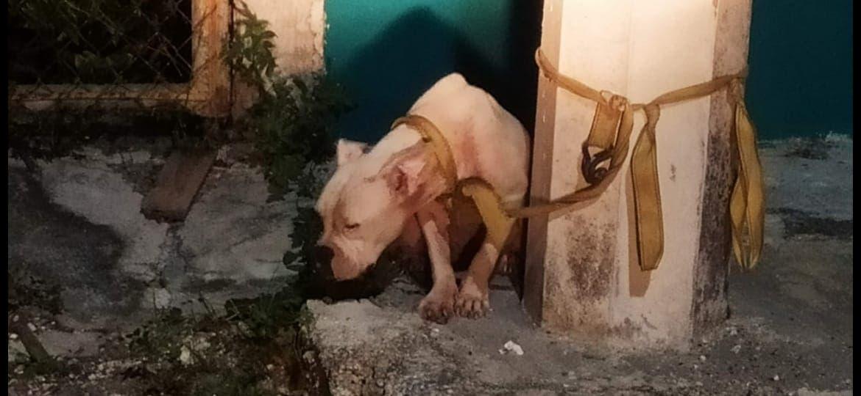 Regresa con su dueño perro que cuidaba narcotienda; hace un año, el animal de raza pitbull fue robado en un domicilio de la isla.