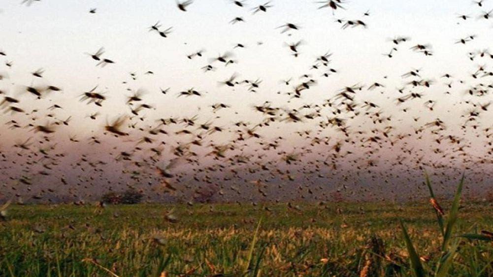 La plaga de langosta está controlada: Comité Estatal de Sanidad Vegetal de Yucatán (Cesvy)