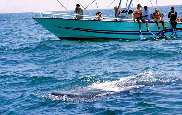 No ha sido redituable el avistamiento del tiburón ballena en Holbox; mínimas las ganancias en esta temporada que concluye el día 15.