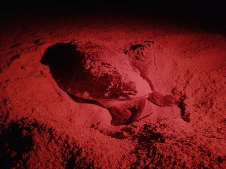 · Más de 400 mil crías de tortuga liberadas.
