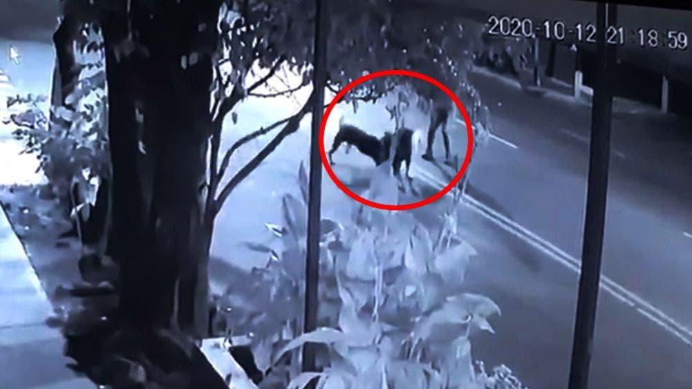 Pitbull y un rottweiler matan a un canino y a otro lo dejan grave