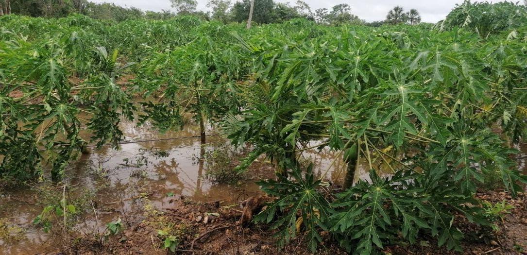 Muy golpeado el campo de FCP por 'Gamma' y viene 'Delta'; la tormenta arrasó con cultivos como maíz, papaya, habanero, tomate y cítricos.