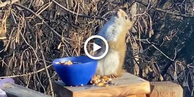 VIDEO: Ardilla termina 'borracha' por robar peras fermentadas.