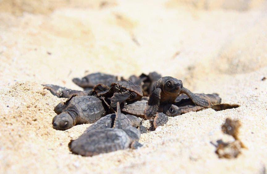 Gobierno de Laura Fernández contabiliza 4 mil 232 nidos de tortugas en Puerto Morelos en temporada 2020, de los cuales 4,052 pertenecen a la especie Chelonia mydas (blanca) y 179 a la Caretta caretta (Caguama)
