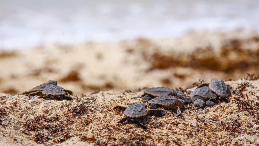 Gobierno de Laura Fernández contabiliza 4 mil 232 nidos de tortugas en Puerto Morelos en temporada 2020