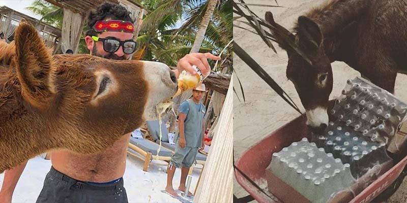 Maltrato animal: Embriagan a burrito y lo utilizan de atracción en Tulum