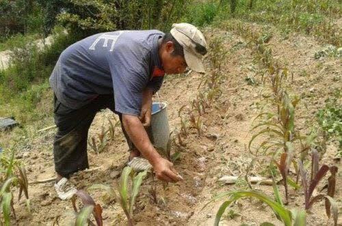 La CNC no está interesada en cultivar marihuana en Quintana Roo.