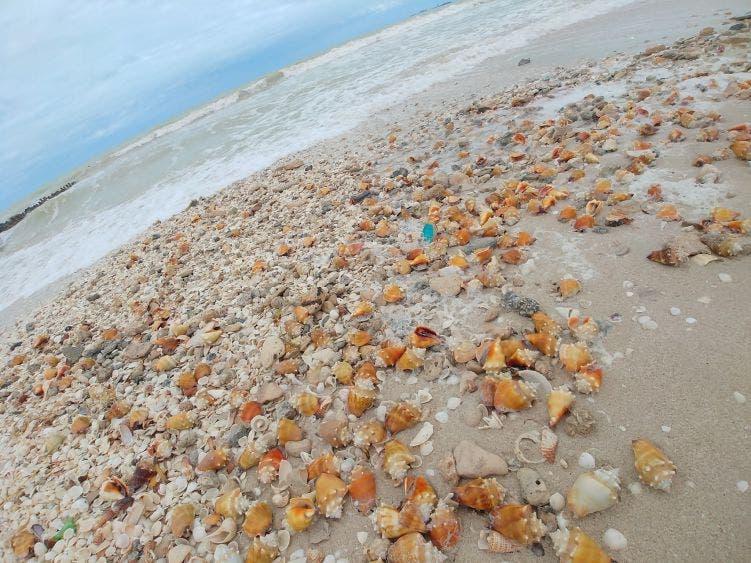 Hallan cientos de caracoles y estrellas de mar a la orilla del puerto de Chelem