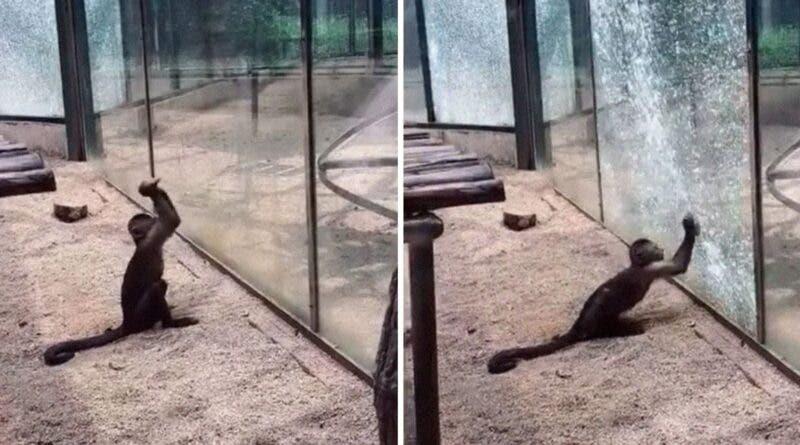 Video: Mono logra escapar de un zoológico golpeando el vidrio de su jaula